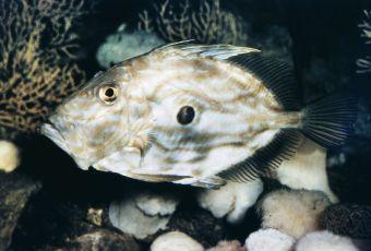 pesce-sampietro